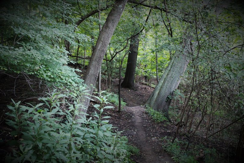 This photo is not rotated. Roots piled high with dirt provide nice, rollable jumps. Many big trees are leaning through the lower section of Iron Gate, some have fallen and demand trail reroutes (good reason to tread lightly, only on trail).