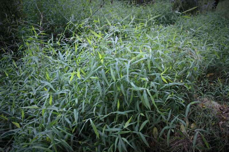 Japanese stiltgrass (Microstegium vimineum) is a fast-growing, invasive grass that threatens native plants and natural habitats in the eastern United States. Whitetail deer do not eat the grass, which enables it to spread more quickly.