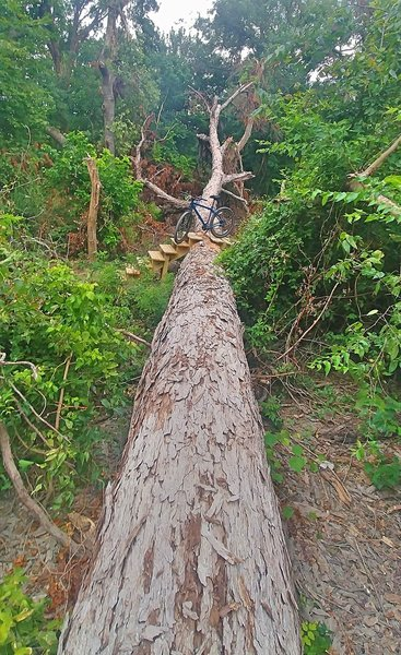 Fallen tree stretched over the Purple & Black Trails