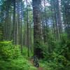 Classic smooth Oregon Forest singletrack