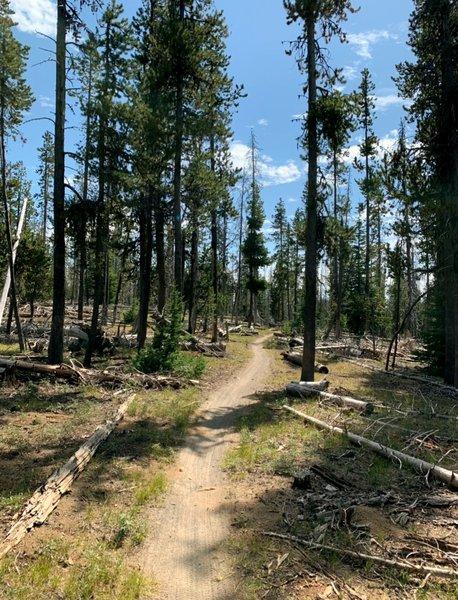 Singletrack through trees and deadfall