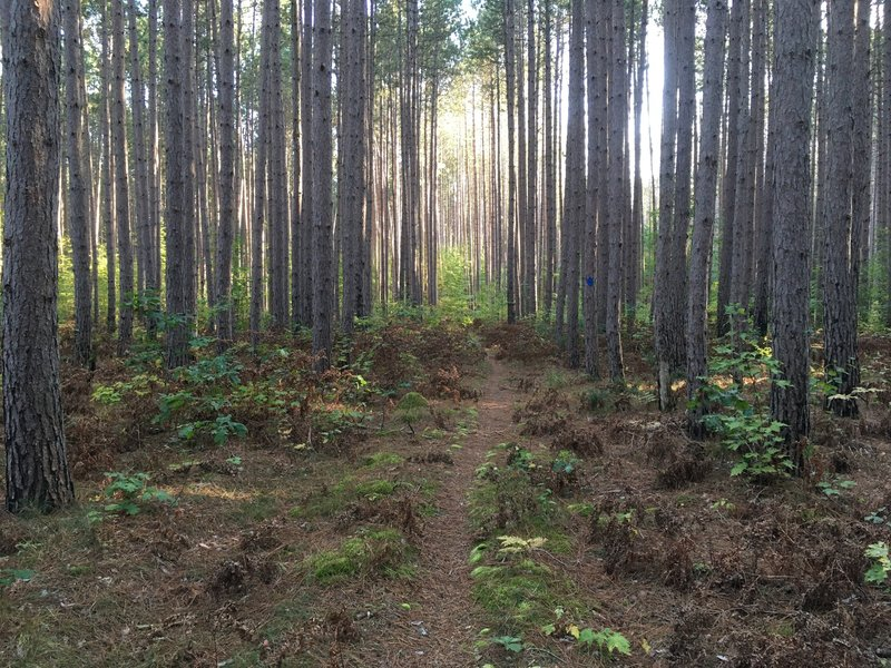 Pine forest trail section @ Big M