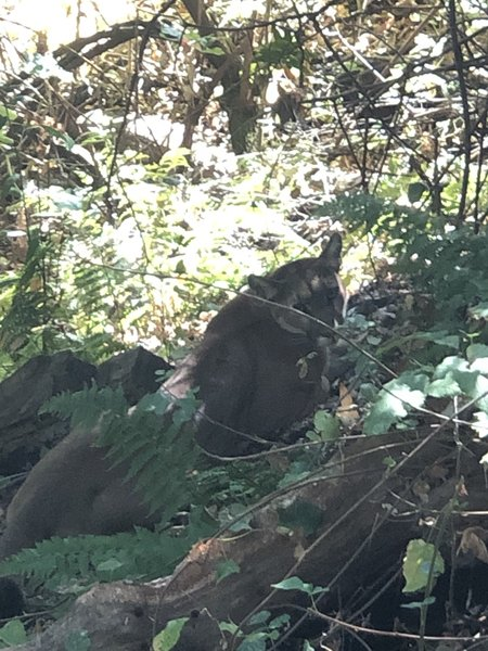 Mountain lion we encountered. Was last of a group of three lions.