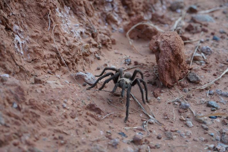 Tarantula on the Capitol Peak Trail