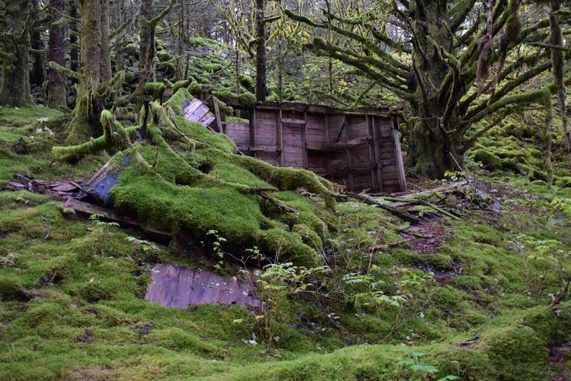 WWII ruin building, next to old growth moss covered spruce.