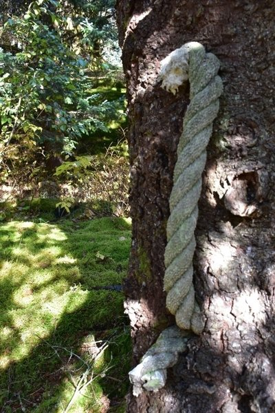 Large roap, grown through the tree.
