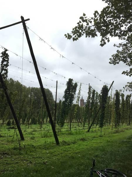 Growing hop