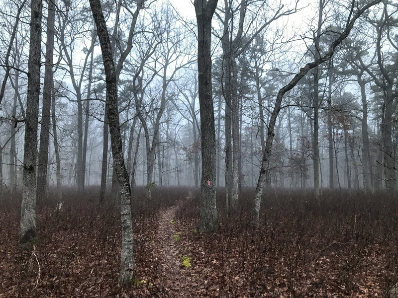 Fast, flat and smooth singletrack through a foggy Pine Barrens morning, Brendan Byrne State Forest