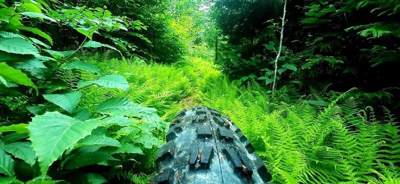 Summer Ferns on Fork Mtn trail.  Photo by Joe DeGaetano.