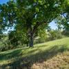 Oak tree looking south