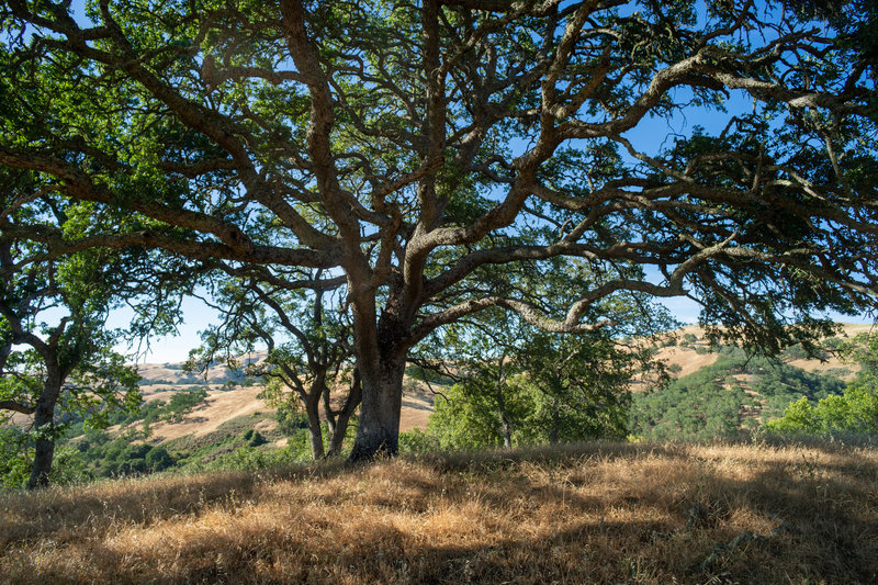 Gorgeous oak tree