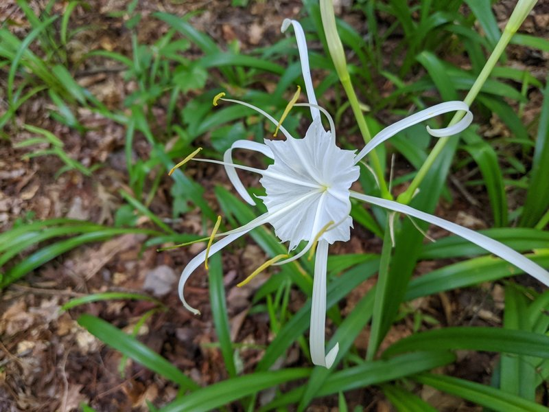 Spider Lilies, blooming in July