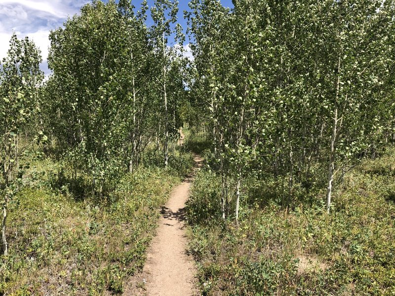 Entering Yellow Dot Trail (the aspens get bigger farther along)