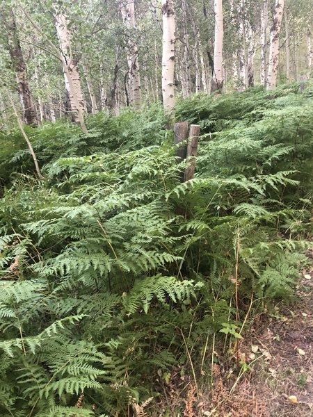A passage of Ferns through Fenceline Trail.