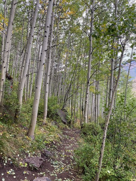 Nice aspens in the Gore Creek Trail singletrack alternate