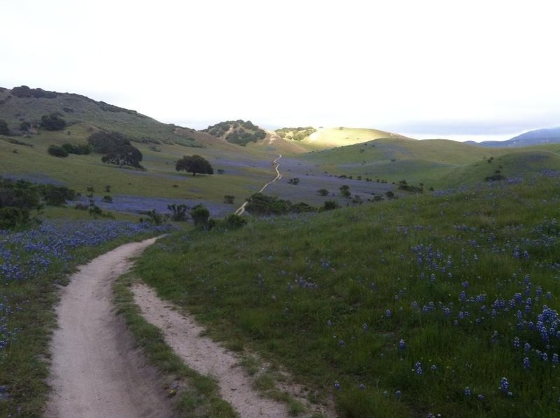 Upper Goat trail with Lupines in full bloom.