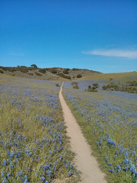 goat trail with lupine
