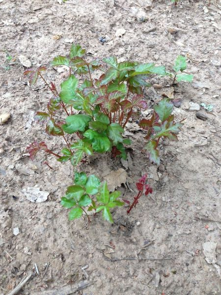 View of poison oak at Pine Mountain Lake Campground - Be careful!