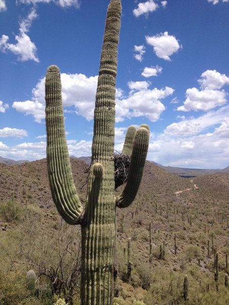 Great Horned Owl nest in saguaro just off the trail.