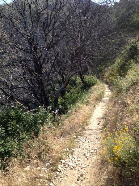 Sweet singletrack through some burned trees along the ridge.