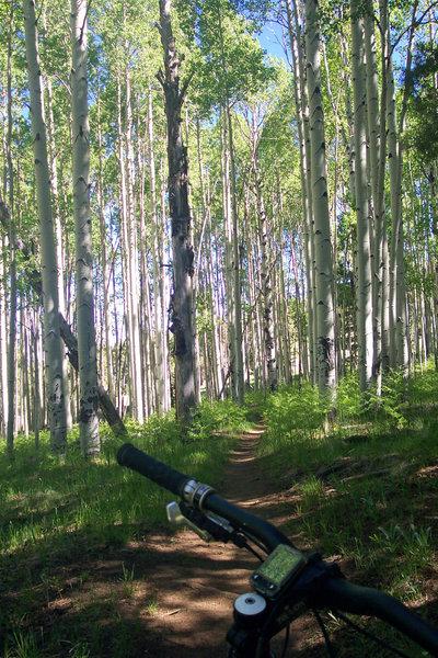 One of many aspen groves.