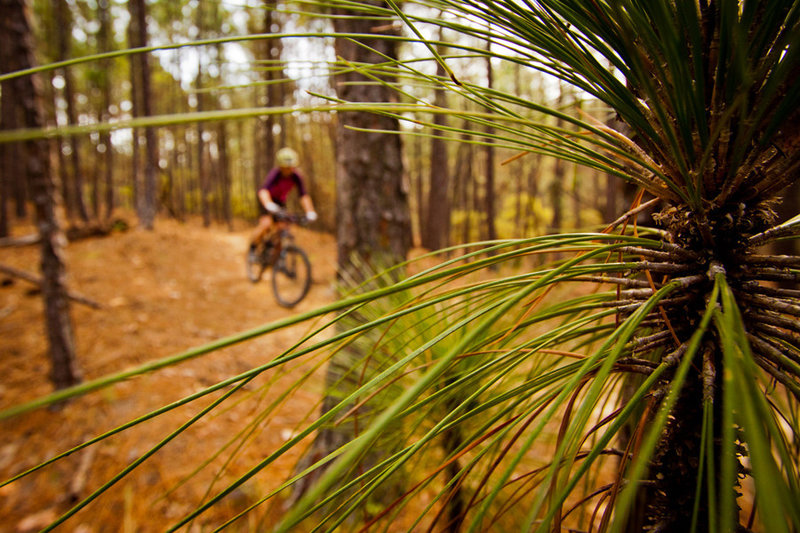 Through the long leaf pines on Jekyll and Hyde
