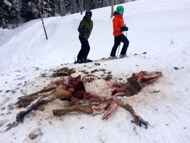Elk remains, no more than a couple days old.  Mountain Lion?