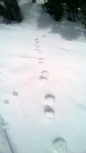 Bear tracks lead into the trees at nearly 10,000 feet.