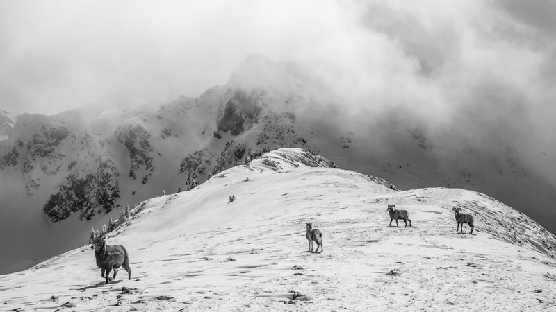 Young bighorn sheep on Kachina Peak's south ridge