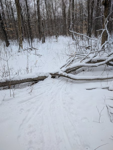 A step-over on the trail. Beaver Loop may be easy, but it's not quite like you may be used from groomed trails...
