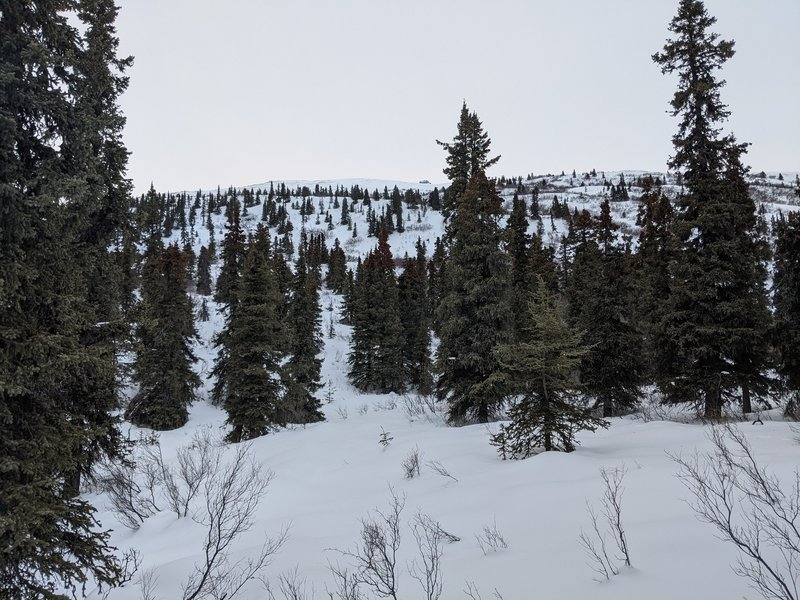 Looking up at the open woodlands that dominate the Devils Thumb lower sections. Fantastic tree skiing!