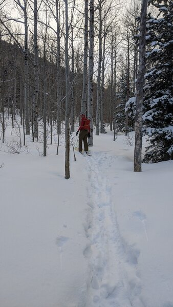 Skiing up through the thin aspen forest between Bear Flats and Apache Flats.